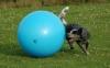 Der Cattle Dog treibt den Ball mit ganzem Körpereinsatz