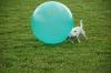 Die kleine Shira stupst den großen Treibball