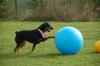 Ein ganz vorsichtiger Rottweiler beim Treibball