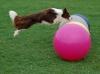 Treibball mal anders...Diego springt über die Bälle, danach darf er die Bälle ins Tor schieben