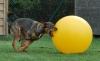 Die meisten Hunde bewegen den Treibball mit offenem Maul