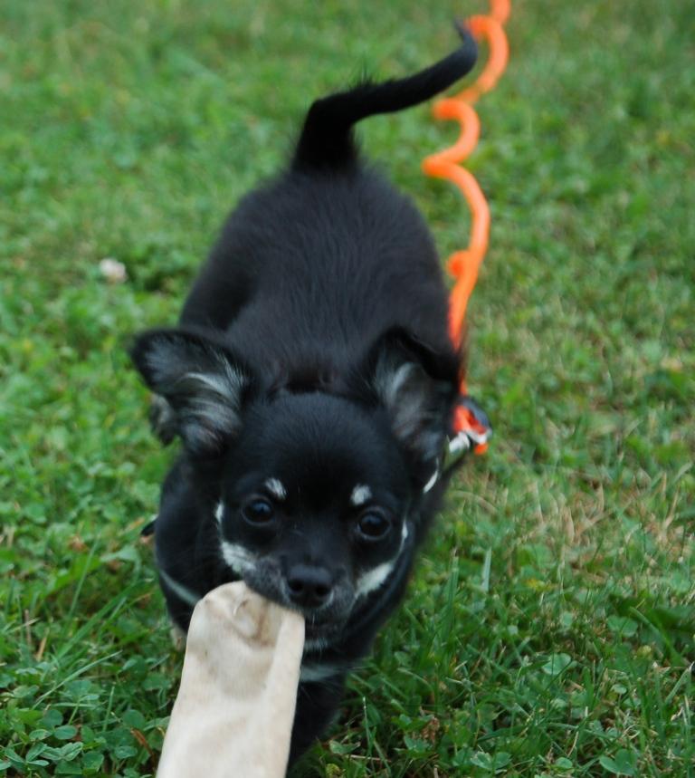 Ein Chihuahua kann auch apportieren
