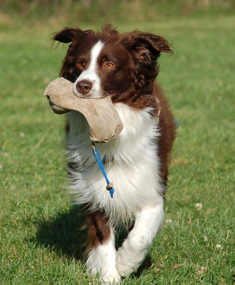 Hund apportiert Futterbeutel