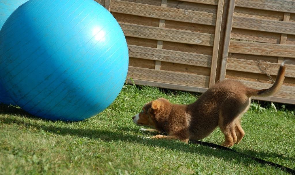 Hund lernt den Ball kennen